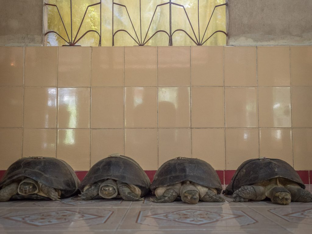 4 Tortoises lined up for receiving donations at the Lotus Pagoda